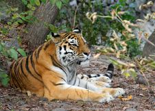Free Resting Tiger Stock Photo - 15268360