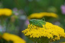 Free Green Grasshoper Royalty Free Stock Photos - 15268438
