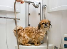 Free Wet Pekingese In The Shower Stock Photos - 15268463