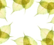 Free Leaves Isolated On White Stock Images - 15268534