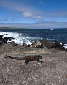 Free Marine Iguana - Galapagos Stock Image - 15268651