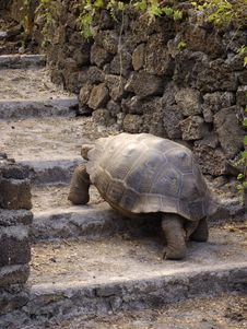 Free Giant Tortoise Royalty Free Stock Photo - 15268735