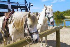 Free Horses Royalty Free Stock Photo - 15269515