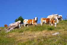Free Cows Royalty Free Stock Image - 15269646