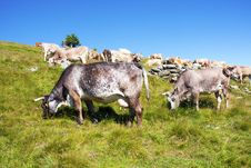 Free Cows Stock Photography - 15269802