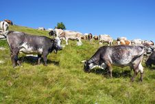 Free Cows Royalty Free Stock Images - 15269869