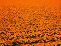 Free Field Of Orange Stock Images - 15270924