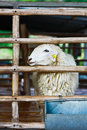 Free Sheep In Cage Stock Photography - 15272642