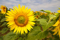Free Sunflower Stock Images - 15275134