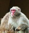 Free Macaque Monkey Stock Photos - 15276863