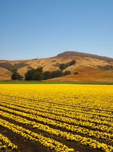 Free Field Of Yellow With Mountains Stock Image - 15270931