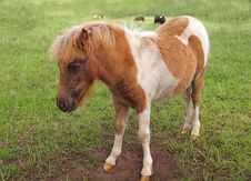 Red-white Pony Foal Stock Photography