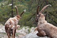 Free Capra Ibex - Italian Alps Stock Images - 15272244