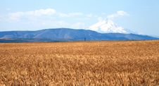 A Wheat Field & Mt. Hood. Stock Photography