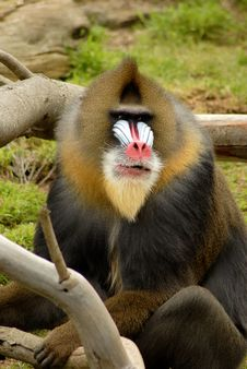That S No Baboon! Royalty Free Stock Photography