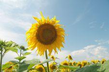 Free Sunflower Royalty Free Stock Photo - 15273105