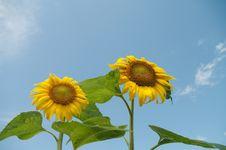 Free Sunflower Stock Photos - 15273123