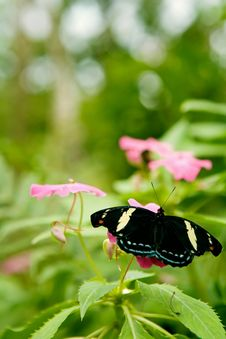 Free Grecian Shoemaker Butterfly Royalty Free Stock Photo - 15273125