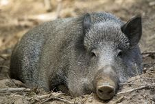Free Wild Boar ( Sus Scrofa ) Stock Photography - 15273322