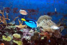 Free Blue Tang Royalty Free Stock Photography - 15274147