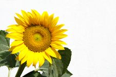 Free Sunflower Stock Photo - 15274400