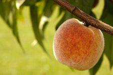 Free Peach On A Tree Royalty Free Stock Photos - 15274448