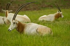 Free Scimitar Horned Oryx Stock Images - 15274584
