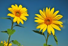 Free Sunflowers Royalty Free Stock Photos - 15275008