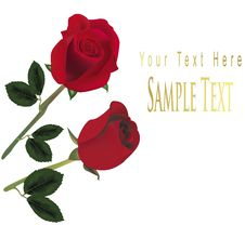 Free Two Red Roses. Royalty Free Stock Photos - 15275698