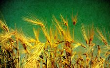 Free Wheat Royalty Free Stock Images - 15276889