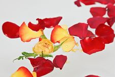 Free Red And Yellow Rose Petals Stock Images - 15277174