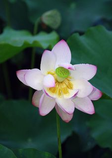 Free Lotus Flower Royalty Free Stock Photography - 15277577