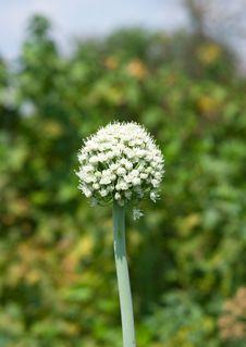 Free Onion Flower Stock Image - 15279851
