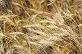Free Closeup Of Wheaten Field Stock Image - 15286781