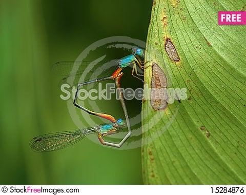 Free Damselflies In Love Royalty Free Stock Image - 15284876