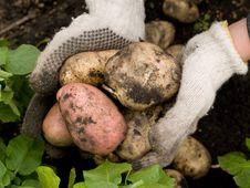 Freshly Potatoes Stock Images