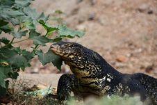Free Komodo Dragon Stock Images - 15280664