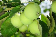 Free Green Apple Stock Photography - 15281482