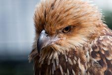 Free Head Shot Of Whistling Kite Raptor Bird. Royalty Free Stock Photos - 15282388