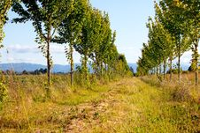 Free Two Rows Of Trees Stock Image - 15283381