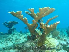 Free Elkhorn Coral Royalty Free Stock Photos - 15283388