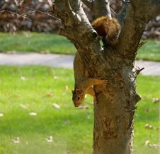 Free Squirrel Stock Photo - 15283470