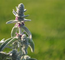 Lambs Ear Royalty Free Stock Photos