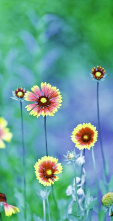 Free Flowers Royalty Free Stock Photography - 15283767
