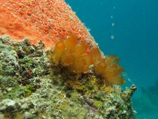 Tunicates Stock Images
