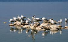 Free Seagulls On The Rocks Royalty Free Stock Image - 15284046
