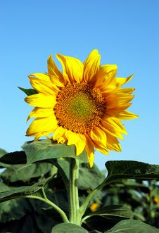 Free Blue Sky...Summer...Sunflower... Stock Photos - 15284693