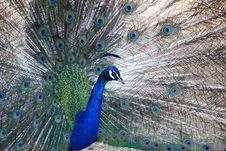 Free Peacock Royalty Free Stock Photos - 15284698