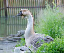 Free Goose Stock Photos - 15285123