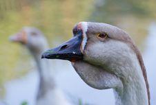 Free Goose Stock Photos - 15285173